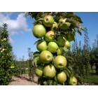 Яблоня колонновидная Янтарное ожерелье (осенний, желтто-зеленый с розовым румянцем)