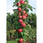 Яблоня колонновидная Останкино (осенний, желтый с красным румянцем)