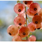 Смородина красная Голландская розовая (V 2-3 л) ЗКС, ОПС